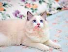 西安布偶猫多少钱 西安哪里出售的布偶猫幼犬价格较便宜