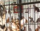 纯种健康孟加拉豹猫宝宝找新家