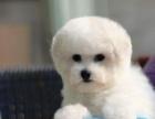 活泼可爱纯种比熊幼犬宝宝血统纯正毛量丰