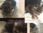 猫舍加菲猫自繁育出售