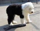 桂林纯种古代牧羊犬价格 桂林哪里能买到纯种古代牧羊犬