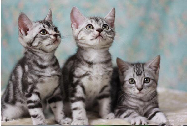 徐州哪里卖的美短猫比较便宜 徐州哪里能买到美短猫