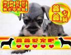 北京买雪纳瑞幼犬 最好品质 签订协议 来场可看狗父母