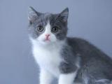 浙江杭州纯种双血统蓝白价钱英短蓝白幼猫