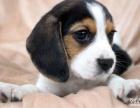 纯种**比格幼犬出售 纯种健康的米格鲁幼犬犬场直销