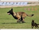 重庆南岸马犬价格多少,哪里出售小马犬,怎么训练马犬幼崽