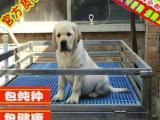 出售纯种拉布拉多幼犬好品质双血统健康质保免疫齐