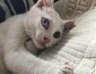 鸳鸯波斯猫找新爱家