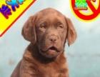 优惠中狗狗用品任意选纯种拉布拉多犬出售签合同