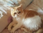 加菲猫出售(母)