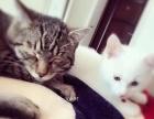 因个人原因,将小不点转让,找个爱猫人士。