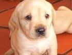 正规狗场繁殖纯种 拉布拉多 多窝可挑选 品质有保