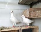 出售各种品种鸽子