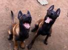 犬舍直销精品马犬 兴奋度高 品相好马犬价格及图片
