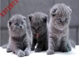 珠三角优质英国短毛猫咪-当天开车送货到家