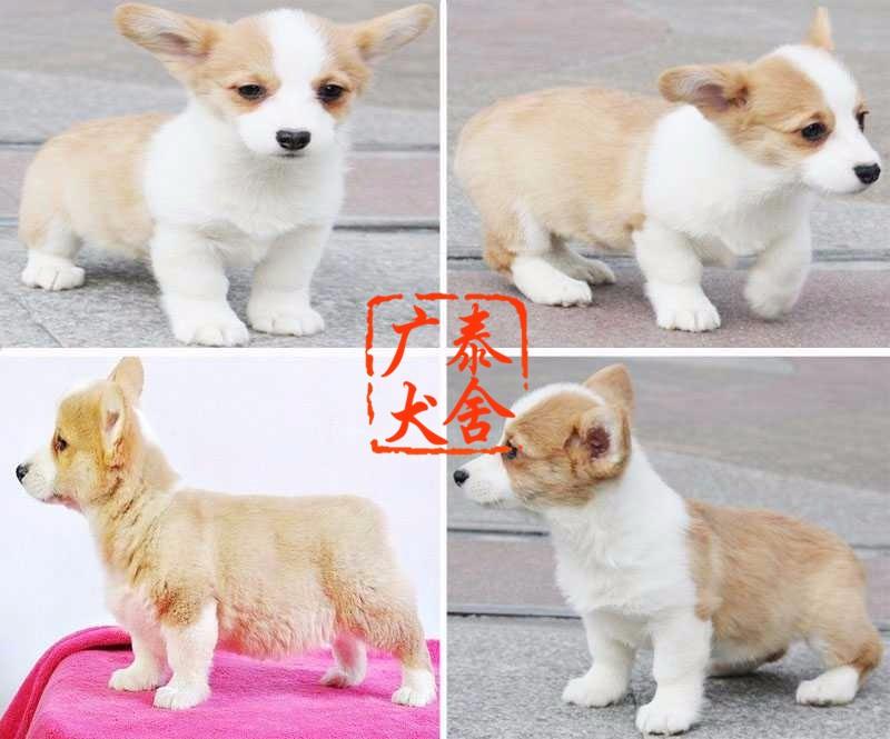 广泰犬舍广州地区 出售精品柯基犬 可签协议