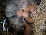 中国狸花猫,橙猫
