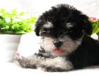 出售纯种高智商/雪纳瑞犬 毛色亮丽品相完美有保证