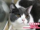 超精美的英短猫蓝白双色小美女--《思晴名猫坊》