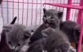 萌宠屋长期出售自家繁殖精品猫咪
