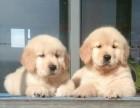咸阳哪里有金毛犬出售 咸阳纯种金毛多少钱 咸阳哪里有金毛犬舍