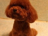 厦门哪有泰迪犬卖 厦门泰迪犬价格 厦门泰迪犬多少钱