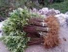 大红袍花椒苗繁育基地