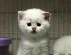 蓝乳色折耳母猫,800元就卖,一共俩只