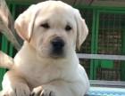 临沂出售拉布拉多幼犬 哪里买拉布拉多多少钱一只图片