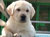 德阳哪里能买到纯种拉布拉多犬拉布拉多犬双血统