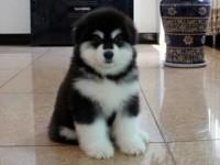 武汉出售纯种阿拉斯加幼犬巨型熊版灰桃脸阿拉斯加