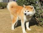 出售纯种日系秋田幼犬/日本皇室犬种/包纯种健康