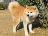 秋田犬忠厚老实 体型好毛色亮,包纯种健康