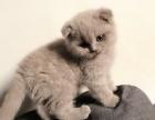 蓝猫稀有色淡紫色妹妹和英短蓝猫弟弟