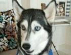 爱宠之家 专收需要寄养的狗狗 家庭式寄养