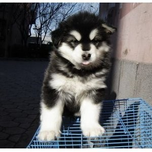 苏州阿拉斯加一本地养殖狗场一直销各种世界名犬 常年售卖
