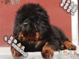 顶级藏獒 狮头 虎头藏獒犬 疫苗齐全 精品藏獒出售