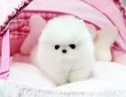 活泼可爱的精美小型犬,比熊/吉娃娃/博美/巴哥/泰迪