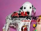 湛江哪里有卖健康的斑点狗