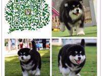 重庆出售纯种阿拉斯加犬 自家养殖的 当面测试交易 同城可来选