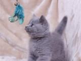 猫舍繁育英短蓝猫 公母均有