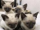南京纯种小暹罗猫乖巧粘人 漂亮蓝宝石眼睛泰国暹罗猫