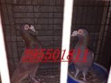 眼睛球 俄罗斯 点子 燕子 彩背等观赏鸽出售60多个品种