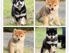 柴犬价格 柴犬多少钱 纯种柴犬多少钱一只