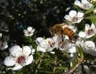 为什么孕妇要选择naki麦卢卡蜂蜜