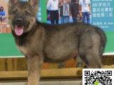 一只马犬幼犬要多少钱 马犬幼犬少钱一只 马犬幼犬的图片