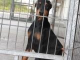 基地出售纯种杜宾 杜宾幼犬 德系杜宾犬欢迎上门