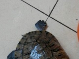大巴西龟一对寻有缘人