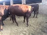 小母牛多少錢