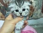 出售自家大猫生的折耳宝宝 价格合理
